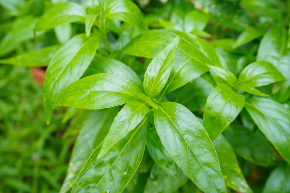 ramuan herbal untuk diabetes dengan daun sambiloto